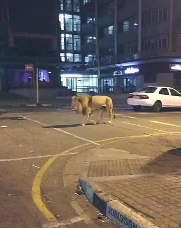 lion in the street
