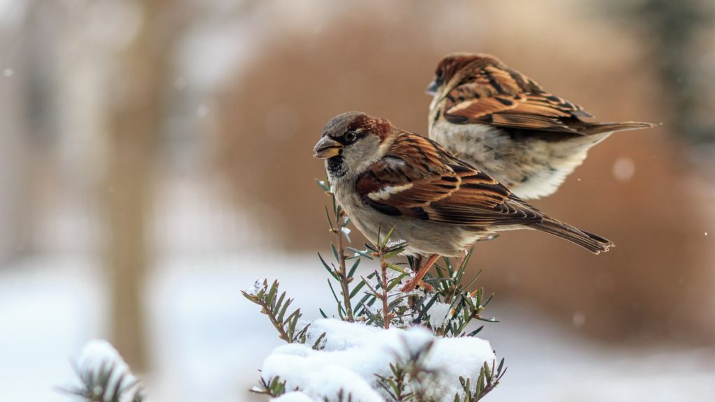 two-sparrows-sitting-on-a-branch-in-falling-snow